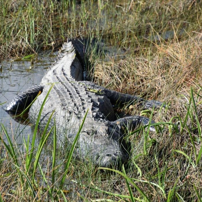 Alligator at Everglades National Park